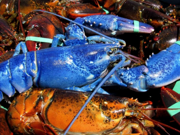 Blue lobster real