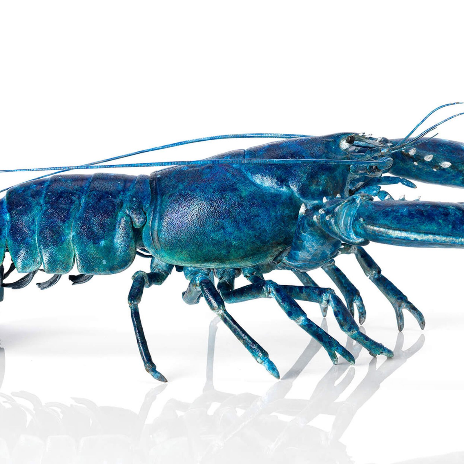 Blue bronze lobster